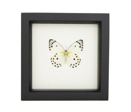 framed belenois calypso