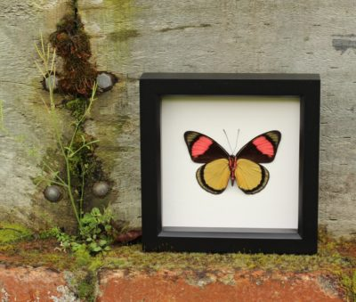 framed butterfly painted beauty