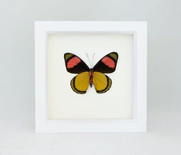 framed butterfly art display