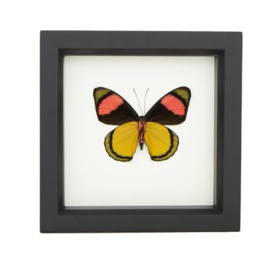 Framed Painted Beauty (verso) Butterfly (Batesia hypochlora)