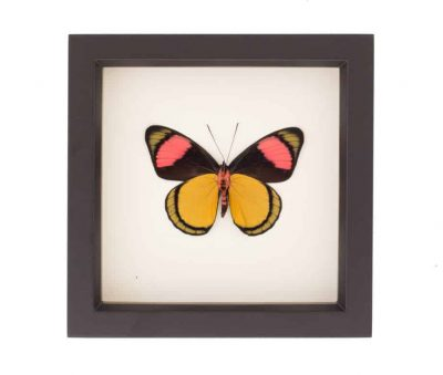 framed butterfly art painted beauty