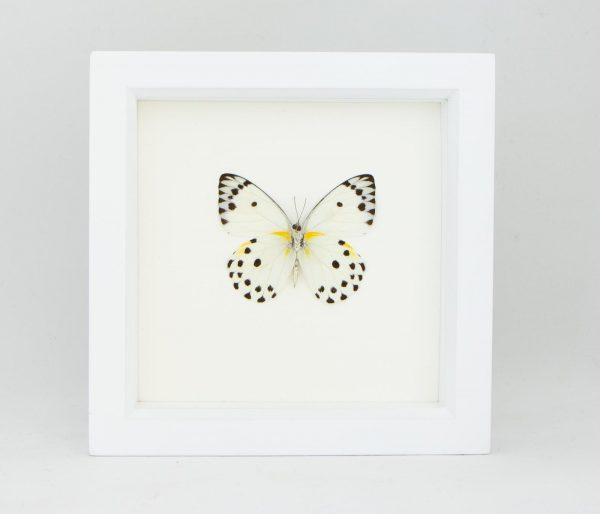 framed calypso white butterfly display
