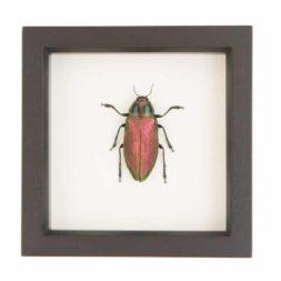 framed Euchroma gigantea