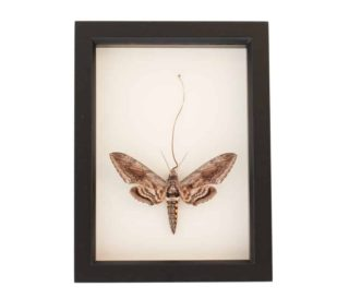 framed hornworm moth