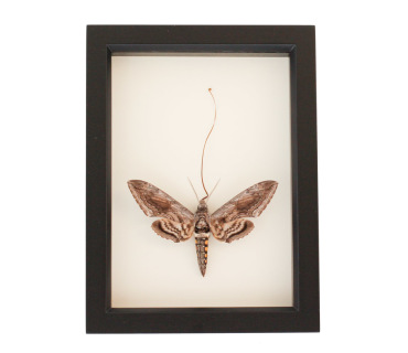 framed hornworm moth