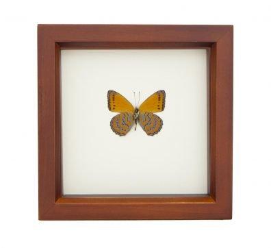 Framed Meadow Wanderer Butterfly verso (ASTEROPE PECHUELI)