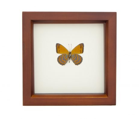 framed orange butterfly display