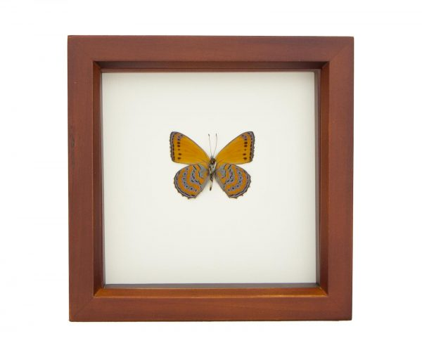 framed orange butterfly display