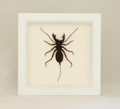 Framed Whip Scorpion