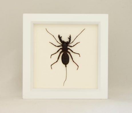 whip scorpion taxidermy