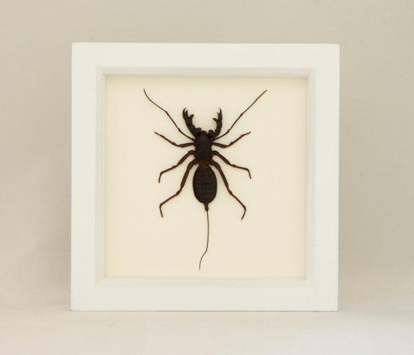 whip scorpion taxidermy