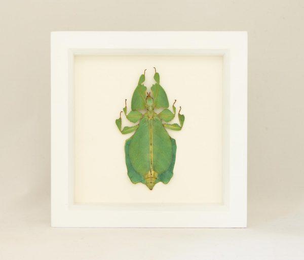 framed walking leaf white frame
