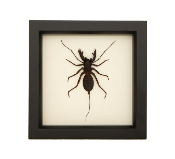framed whip scorpion