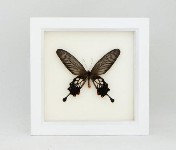 framed windmill butterfly
