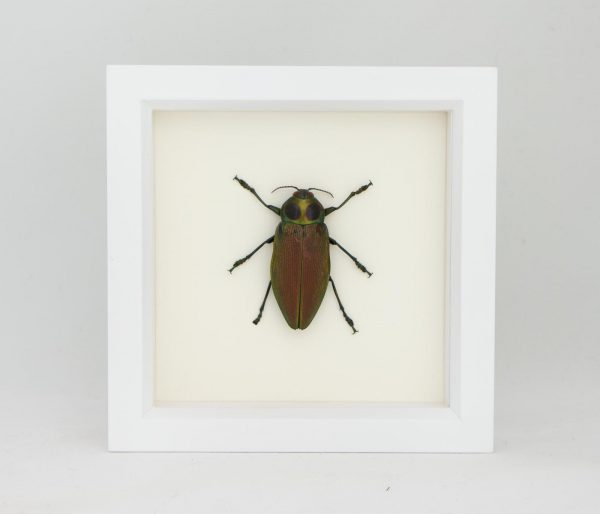 giant jewel beetle taxidermy