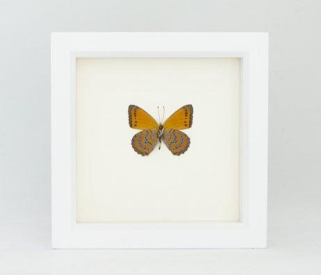 meadow wanderer butterfly underside