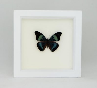Framed Red Flasher Butterfly (Panacea prola)