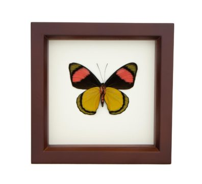 Framed Painted Beauty (verso) Butterfly (Batesia hypochlora)