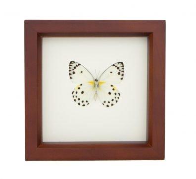 Framed Calypso White Butterfly (Belenois calypso)