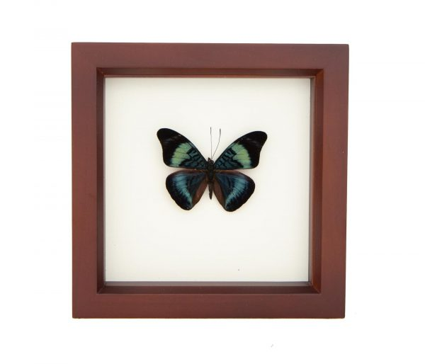 red flasher shadowbox butterfly
