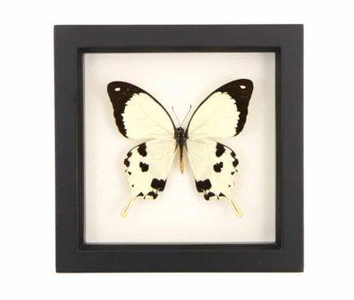 Papilio dardanus specimen
