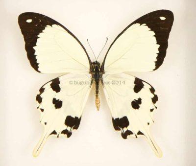 yellow framed butterfly Papilio dardanus