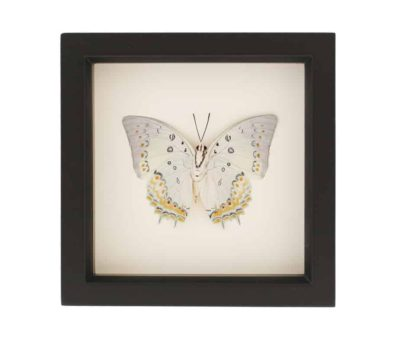 framed polyura delphis butterfly