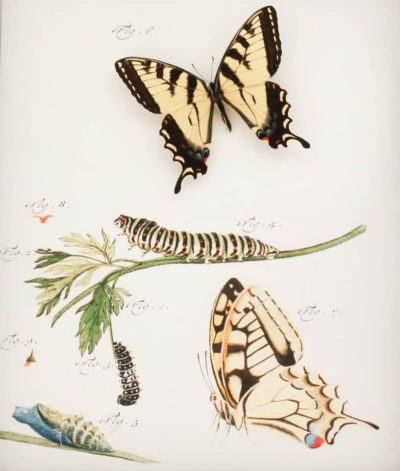 antique insect print tiger swallowtail
