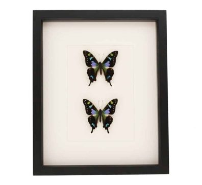 Framed Purple Mountain Butterfly Collection