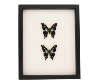 butterfly collections framed