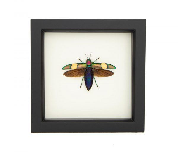 chrysochroa saundersi beetle