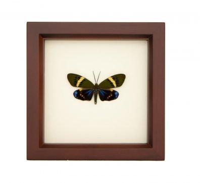 Framed Day Forester Moth (Eterusia repleta)