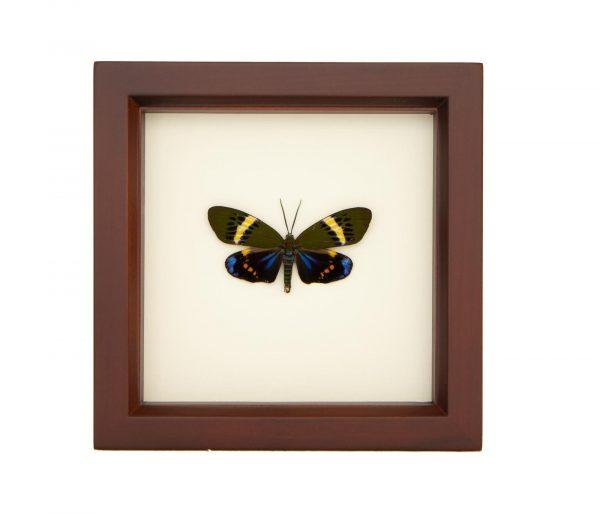 day flying moth framed