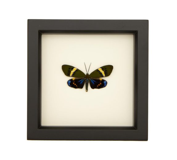 framed Eterusia repleta