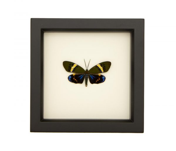framed Eterusia repleta