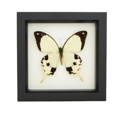 framed mocker butterfly