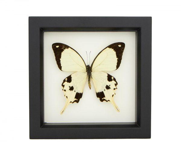 framed mocker butterfly