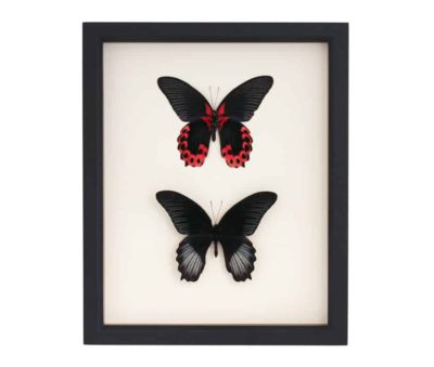 scarlet mormon butterfly collection
