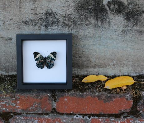 framed cracker butterfly