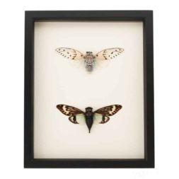 framed cicada set