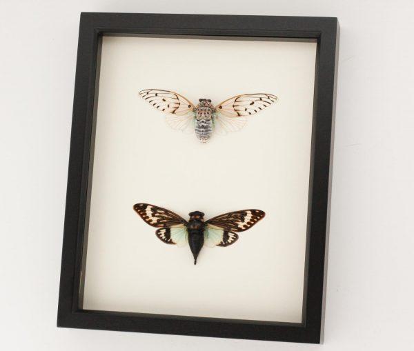 framed cicada shadow box specimens