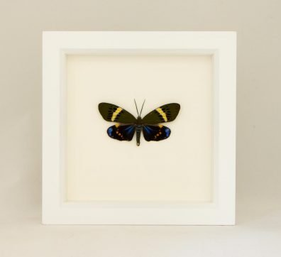 Framed Day Forester Moth (Eterusia repleta)