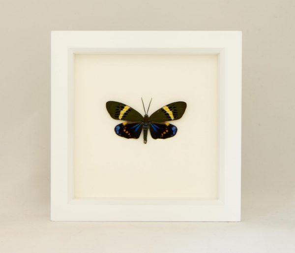 framed day forester moth