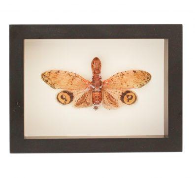 Framed Peanut Head Lantern Fly (Fulgora Laternaria)