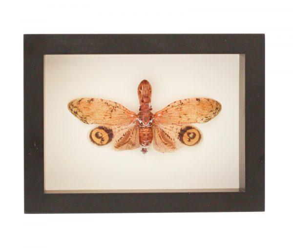 framed fulgora laternaria