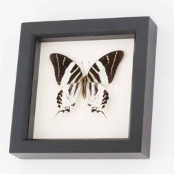 giant swordtail butterfly framed