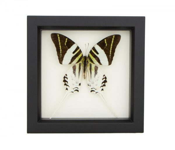 framed-graphium-androcles