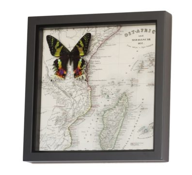 Framed Map of Madagascar with Moth