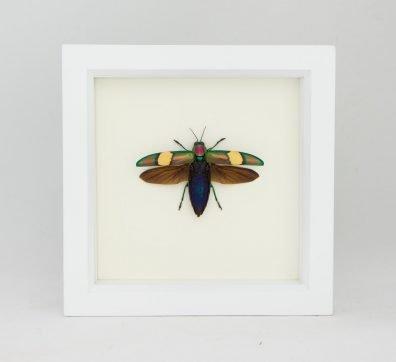 Framed Wood Boring Jewel Beetle (Chrysochroa saundersi)