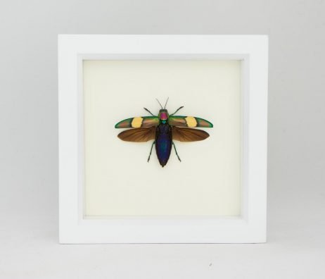 framed metallic jewel beetle